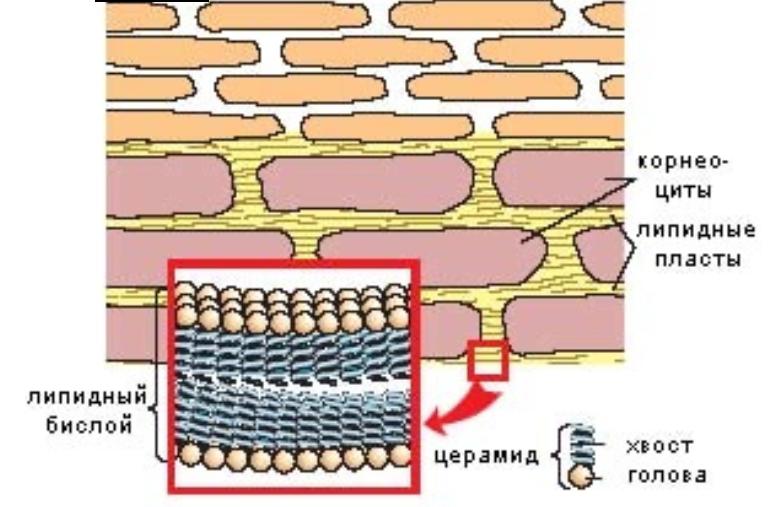 Защита кожи зимой: восстановление и укрепление липидного барьера кожи